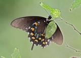 Pipevine Swallowtail - male_8394.jpg