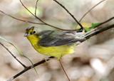Canada Warbler - female_8571.jpg