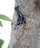 Black-and-white Warbler - female_8575.jpg
