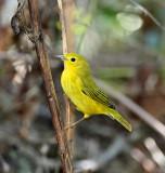 Yellow Warbler - female_8580.jpg