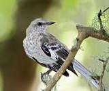 Northern Mockingbird - juvenile_8562.jpg