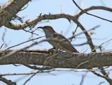 Black-billed Cuckoo - juvenile_8701.jpg