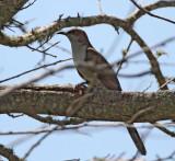 Black-billed Cuckoo - juvenile_8710.jpg