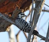 Ladder-backed Woodpecker at LaFitte's Cove Galveston_2101.jpg