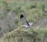 Northern Harrier - male_2159.jpg