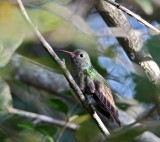 Buff-bellied Hummingbird_2204.jpg