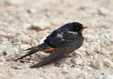 Barn Swallow_3508.jpg