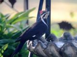 Pileated Woodpecker - female - in birdbath_3551.jpg