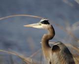 Great Blue Heron_3816.jpg