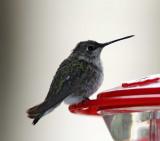 Black-chinned Hummingbird - female_4047.jpg