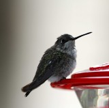 Black-chinned Hummingbird - female_4048.jpg