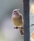 Orange-crowned Warbler_4049.jpg