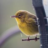 Pine Warbler - male_3962.jpg