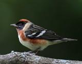 Bay-breasted Warbler - breeding male_0769.jpg
