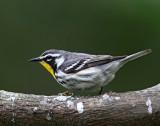 Yellow-throated Warbler_0650.jpg