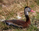 Black-bellied Whistling Duck_5720