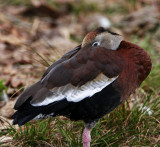 Black-bellied Whistling Duck_5724