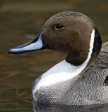 Northern Pintail - male - detail_5825.jpg