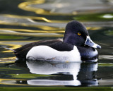 Ring-necked Duck - male_5742.jpg