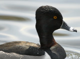 Ring-necked Duck - male_5805.jpg