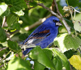 Blue Grosbeak - male_5630.jpg