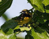 Orchard Oriole - 1st summer male_4724.jpg