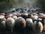 Sheep Flock in Lesvos