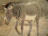 Grevy's Zebra, Samburu,  Kenya
