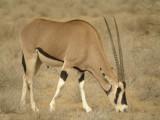 Beisa Oryx, Samburu, Kenya