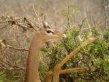 Gerenuk, Kenya
