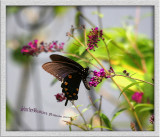 butterflies-2009