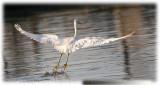 egrets_2009_