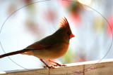 cardinals_red_birds_2009