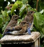 Southern Blue birds 2010