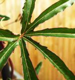 Passion leaf