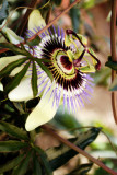 The Mysterious Passion Flower
