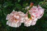 Old Windsor Roses
