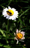 lawn daisy and visitor