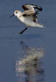 Sanderling landing
