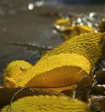 Seaweeds at Zuma Beach
