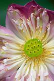 Lotus flower opening