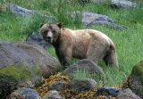 Grizzly Bears of Knight Inlet  - July 2006