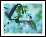 Swarm of Humming Birds About Apple Tree in Full Bloom