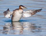Red-necked Grebe Flapping Wings