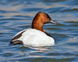 Canvasback Duck Male