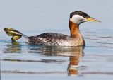 Red-necked Grebe Stretching