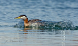 Red-necked Grebe Fleeing