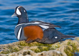 Harlequin Duck Male Ready To Flee