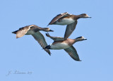 American Widgeons In Flight