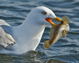 Portrait Of Ring-billed Gull With Fish